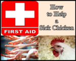 How to Help a Sick Homesteading Chicken