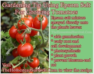 Gardening Tip Using Epsom Salt For Growing Tomatoes The