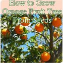 How to Grow Orange Fruit Tree From Seeds