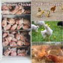 Raising Chickens To Fill Freezer