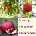 Growing Container Pomegranate